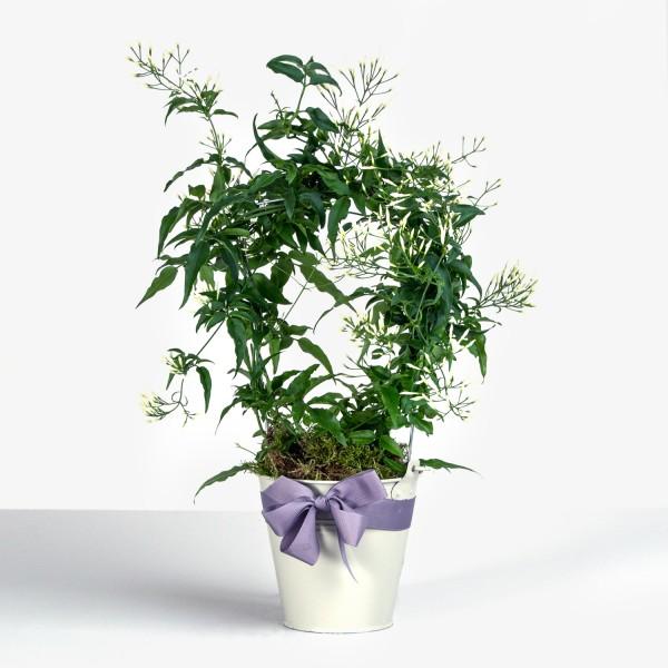 Potted Jasmine
