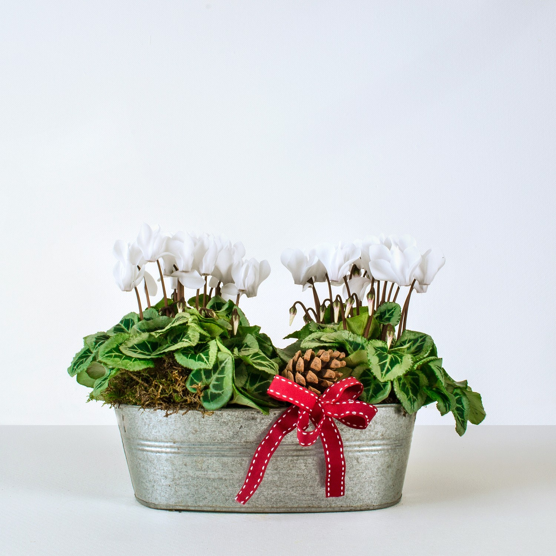 Christmas Cyclamen Planter
