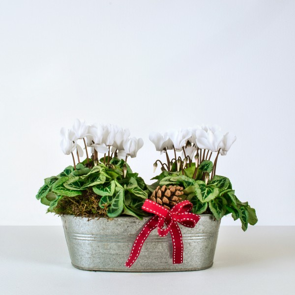 Christmas Cyclamen Planter