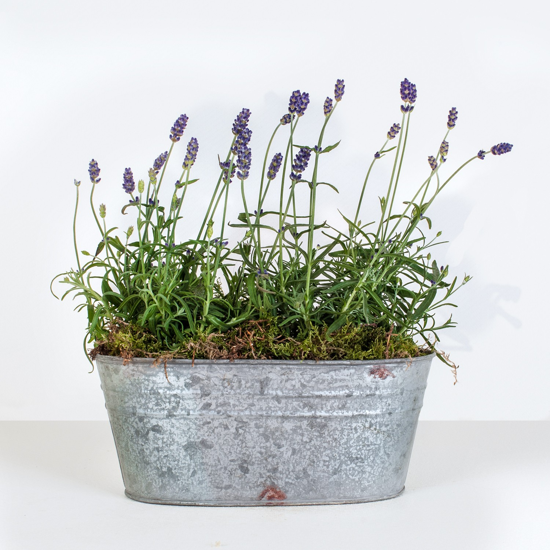 lavendar planter